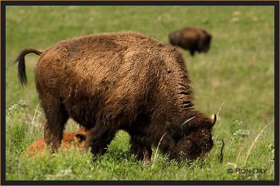 American Bison, (Bos bison), Cow and Calf